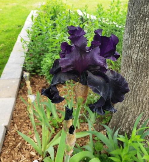 Iris - black is black2-trnd