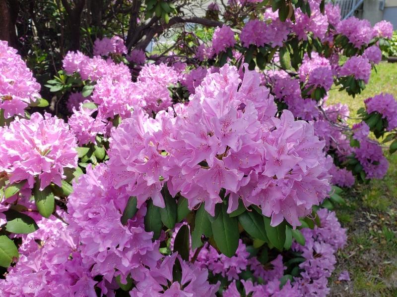 Rhodie flower