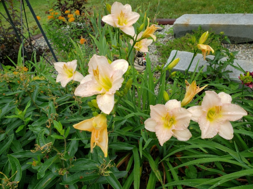 Lily - yellow at shade garden