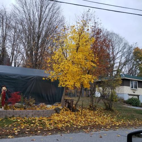 Maple at roadside garden - yellow