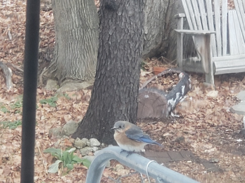 Bluebirds on suet feeder