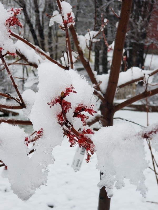 Burgundy Bell maple flowers and snow close-trnd