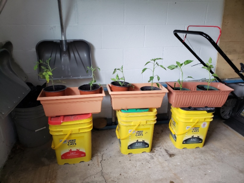Tomatoes and peppers potted
