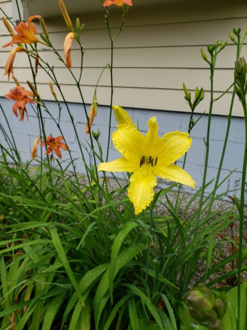 Day Lily - yellow by stairs-trnd