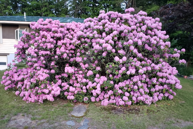 Rhodies from road