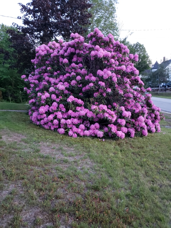 Rhodies from driveay-trnd