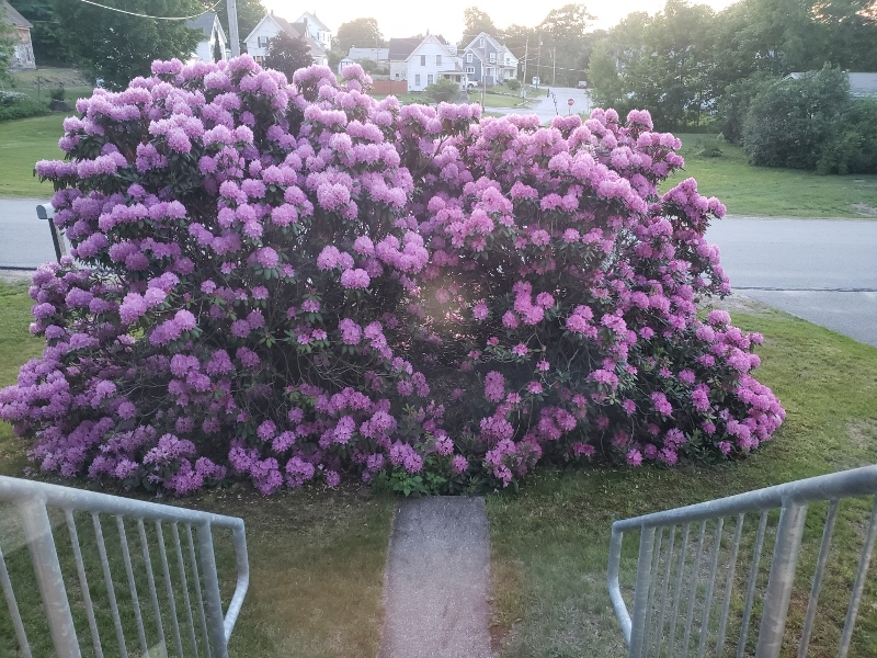 Rhodies from porch