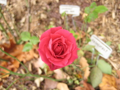 Mystery_red_111007