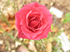 Mystery_red_2_111007