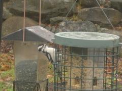 Woodpecker_111507_2